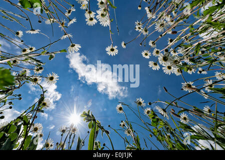 Longstanton, Cambridgeshire UK 14th May 2014. Ox eye daisies burst into bloom as warm sunny weather returns to the UK. The wild plants self-seed  and form a mass of white flowers at the side of the road in the village of Longstanton covering what would otherwise be bare ground. Credit Julian Eales/Alamy Live News