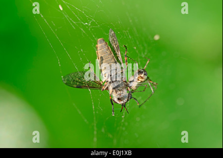 Sheet Web Spider (Linyphia triangularis) in web with seized Horse Fly, North Rhine-Westphalia, Germany - Stock Photo