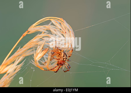 Furrow Spider or Furrow Orbweaver (Larinioides cornutus, Araneus foliatus), female - Stock Photo