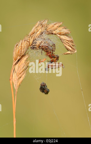 Furrow Spider or Furrow Orbweaver (Larinioides cornutus, Araneus foliatus), female in her hiding place - Stock Photo
