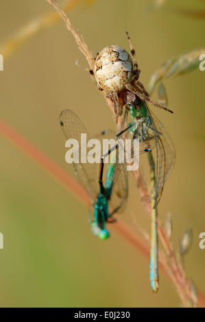 Furrow Spider or Furrow Orbweaver (Larinioides cornutus, Araneus foliatus), female with seized Damselflies - Stock Photo