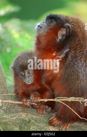 Coppery Titi Monkey or Red Titi Monkey (Callicebus cupreus), female with young - Stock Photo