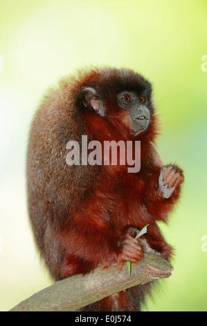 Coppery Titi Monkey or Red Titi Monkey (Callicebus cupreus) - Stock Photo