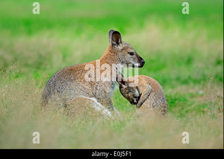 Red-necked Wallaby (Macropus rufogriseus), female with young - Stock Photo