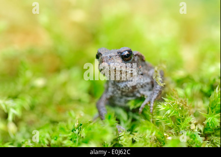 Common Toad (Bufo bufo), juvenile, North Rhine-Westphalia, Germany - Stock Photo