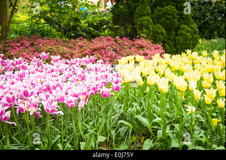 Holland , Netherlands , Keukenhof , flower bed tulip tulips red yellow blue purple mauve white pink orange bloom - Stock Photo