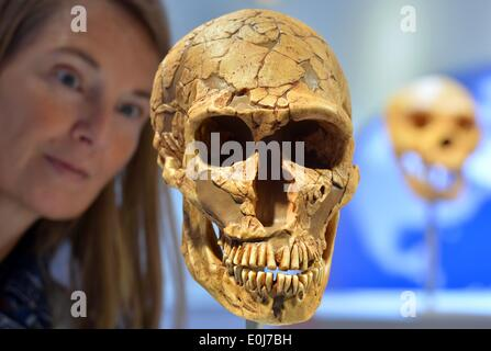 Chemnitz, Germany. 14th May, 2014. Museum educator Sabine Liener-Kraft looks at the replica of a skull of a Neanderthal - Stock Photo