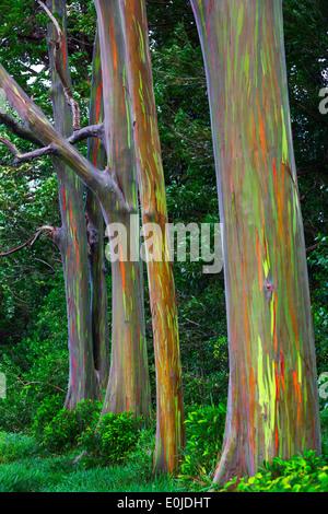 Rainbow Eucalyptus tree on the Hana Highway Maui, Hawaii - Stock Photo