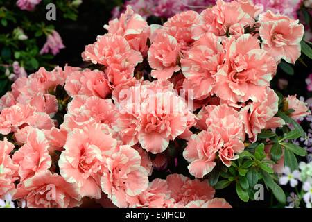 verschiedene Zuchtformen eines Rhododrendron (Rhododendron strigillosum ) Deutschland - Stock Photo