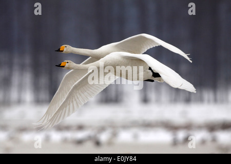Whooper swans in flight, in snow, March, Tysslingen, Sweden (Cygnus cygnus) - Stock Photo