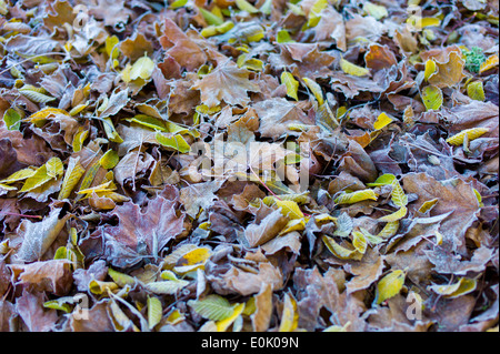 Frosty leaves on forest floor in autumn including beech and sycamore leaf in United Kingdom