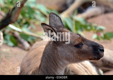 Red kangaroo (Macropus rufus) rest in the Australian outback. - Stock Photo