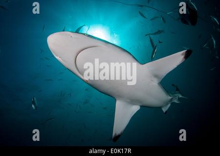 Oceanic Blacktip Sharks, Aliwal Shoal, South Africa (Carcharhinus limbatus) - Stock Photo