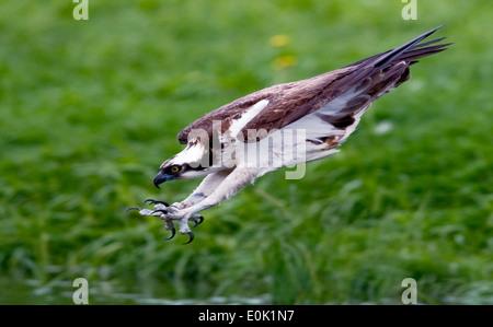Osprey fishing for salmon trout, Finland (Pandion haliaetus) - Stock Photo