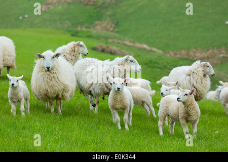 Flock of sheep ewes and lambs in the Brecon Beacons in Wales, United Kingdom - Stock Photo