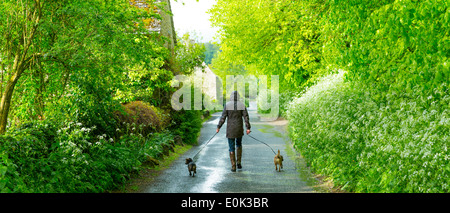 Woman walking dogs on rainy day in The Cotswolds, UK - Stock Photo