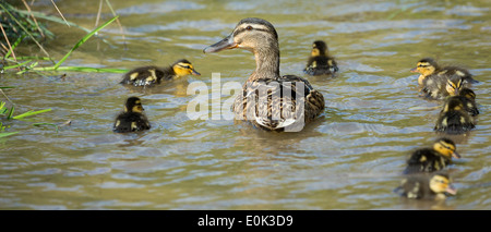Mallard duck with ducklings on a stream in The Cotswolds, UK - Stock Photo