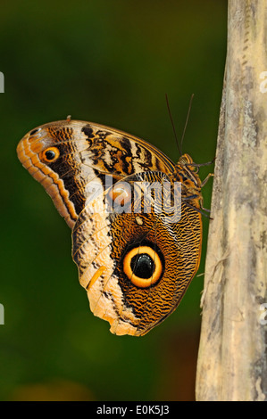 Vertical picture of Yellow-edged Giant Owl, Caligo atreus, perched on a branch. - Stock Photo
