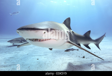 Caribbean reef shark, Bahamas. (Carcharhinus perezi) - Stock Photo