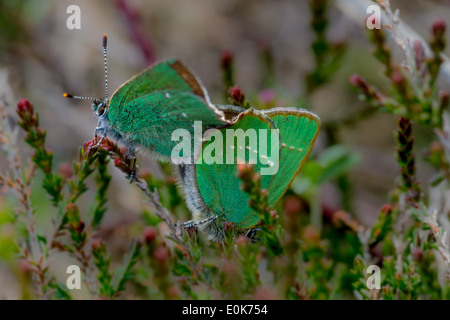 Mating green hairstreak butterfly, Wharfedale, Yorkshire, UK - Stock Photo