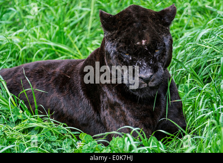 Close up portrait of black panther / melanistic jaguar (Panthera onca) lying in the grass, native to Central and - Stock Photo