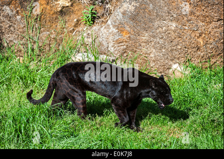 Black panther / melanistic jaguar (Panthera onca) with spots still visible walking along rock face - Stock Photo