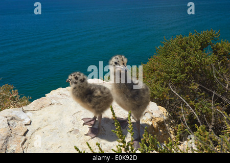 Yellow-Legged Gull (Larus cachinnans), Algar Seco, Carvoeiro, Lagoa, Algarve, Portugal - Stock Photo