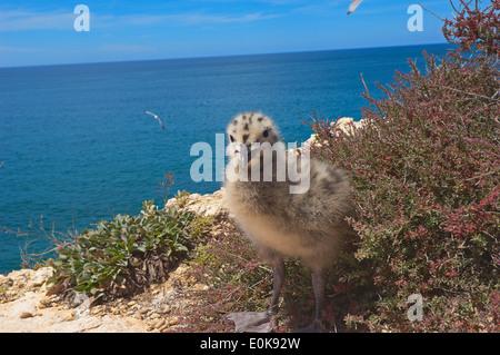 Yellow-Legged Gull (Larus cachinnans), Algar Seco, Carvoeiro, Lagoa, Algarve, Portugal - Stock Photo