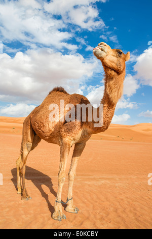 Image of camel in desert Wahiba Oman - Stock Photo