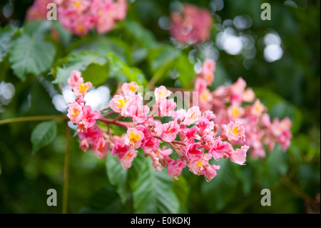Red Aesculus flowers cluster - Stock Photo