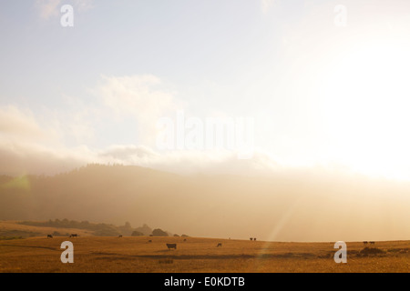 The fog rolls in in the distance of a landscape of cows grazing, silhouetted against a sunset. - Stock Photo