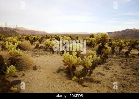 Cholla cactus in Joshua Tree National Park in Southern California, USA - Stock Photo