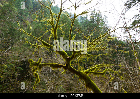A moss covered branch on the trail to Wachlella Falls in Multnomah County, Oregon. - Stock Photo