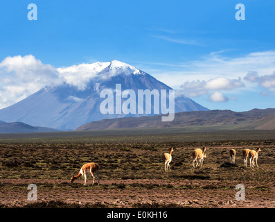 Vicunias graze in the Atacama, Volcanoes Licancabur and Juriques. The photo was taken on the road through the Andes - Stock Photo
