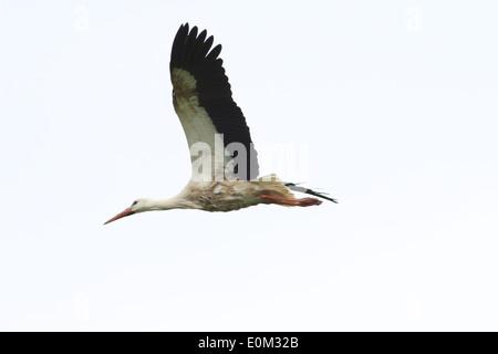 European White Stork (Ciconia ciconia) in flight - Stock Photo