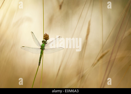 A Green Darner dragonfly waits for the warning rays of the morning sun, Oregon, USA (Anax junius) - Stock Photo