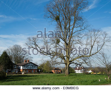 large old oak tree against a blue sky in spring. The old cricket common Cookham Dean Berkshire - Stock Photo