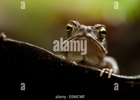 A frog watches from a water-filled leaf on the rainforest floor, Tambopata National Preserve, Peruvian Amazon - Stock Photo
