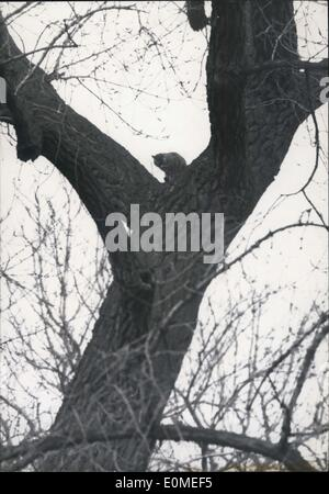 Jan. 20, 1955 - Flood Scenes in Paris Cat trapped in a tree this cat Headlined in Paris Papers belongs to the keeper - Stock Photo