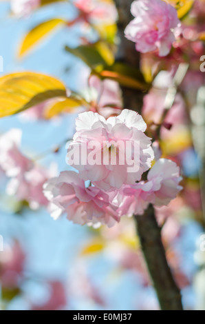 Japanese cherry blossom, sakura flower on blue sky close-up - Stock Photo