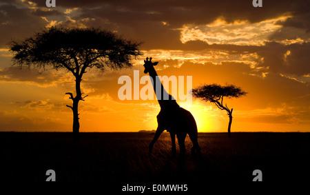 Giraffe at sunset with camelthorn trees, Masai Mara National Park, Kenya (Giraffa Camelopardalis) - Stock Photo