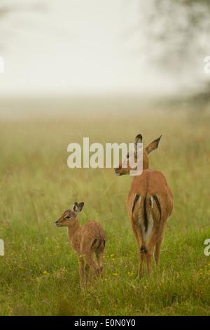 Impala mother with baby in the rain, Lake Nakur National Park, Kenya (Aepyceros melampu) - Stock Photo