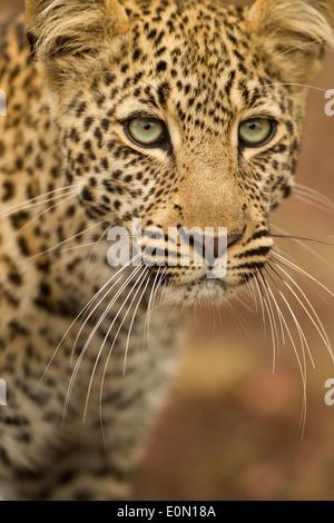 African Leopard portrait, Upper Mara, Masai Mara Game Reserve, Kenya, Africa (Panthera pardus) - Stock Photo