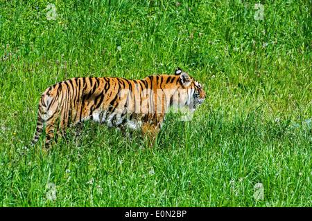 Bengal tiger (Panthera tigris tigris) native to India, Bangladesh, Nepal and Bhutan hunting in grassland - Stock Photo