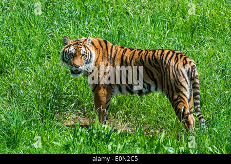 Bengal tiger (Panthera tigris tigris) native to India, Bangladesh, Nepal and Bhutan in grassland - Stock Photo