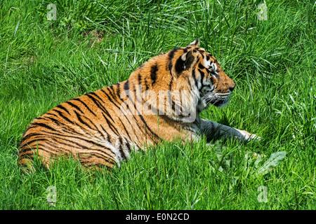 Bengal tiger (Panthera tigris tigris) native to India, Bangladesh, Nepal and Bhutan resting in grassland - Stock Photo