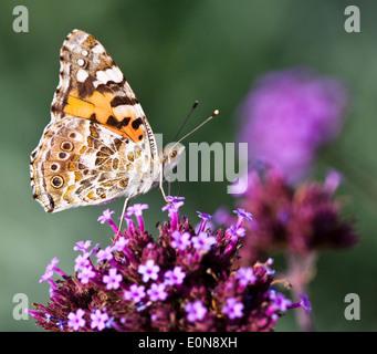 Distelfalter auf Sternblume, Graffiti Violett, (Pentas lanceolata) - Painted Lady on Pentas lanceolata - Stock Photo