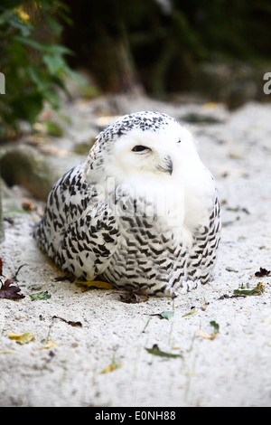 Snow owl in a deer park - Stock Photo