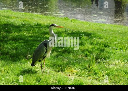 Grey Heron (Ardea cinerea), Regent's Park, London, England, UK - Stock Photo