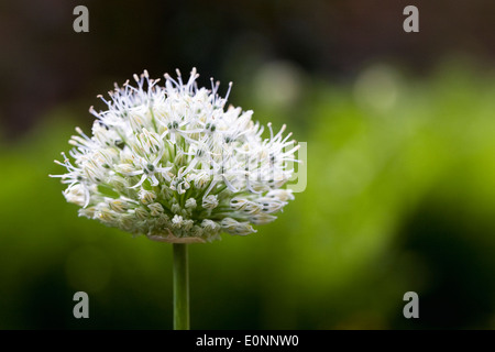 Allium nigrum. White allium flowerhead. - Stock Photo